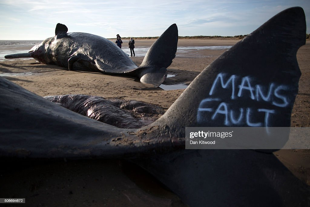 Graffiti saying 'mans fault' is seen on the tail of one of three Sperm Whales that were found washed ashore on a beach near Skegness over the weekend on January 25, 2016 in Skegness, England. The whales are thought to have been from the same pod as another animal that was found on Hunstanton beach in Norfolk on Friday.