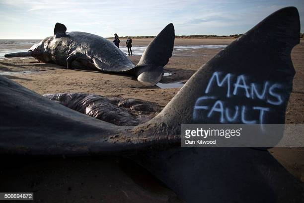 Graffiti saying 'mans fault' is seen on the tail of one of three Sperm Whales that were found washed ashore on a beach near Skegness over the weekend...