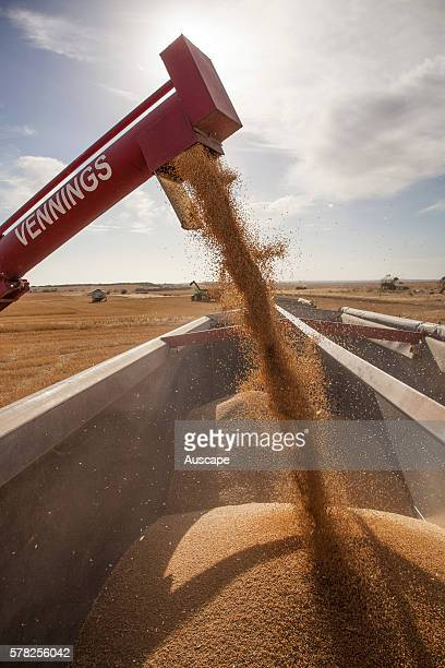 Grain being discharged into a bin from the spout of a grain auger Near Penong Nullarbor Plain South Australia Australia