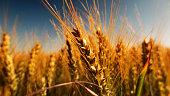 Golden grain field in autumn with dark blue sky and short depth of field
