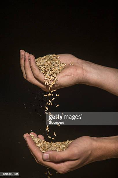 Grains of soft apache wheat fall from the hands of a farm worker a storage facility in this arranged photograph on a farm in AvignonetLauragais...