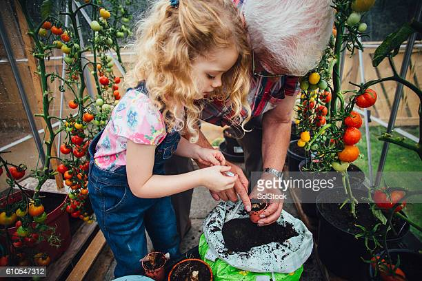 Grandad and Granddaughter Planting Tomatoes in Greenhouse