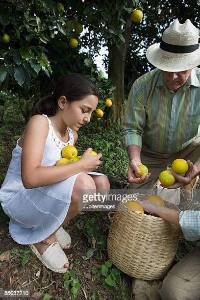 Granddaughter and grandfather placing picked oranges in basket , Colombia