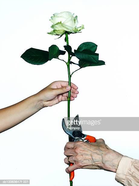 Granddaughter (8-9) holding rose, grandmother cutting stem with secateurs, close-up
