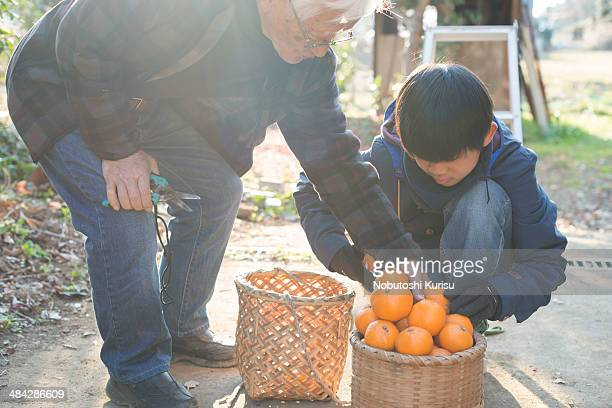 Grandfather and grandson are harvesting the fruits
