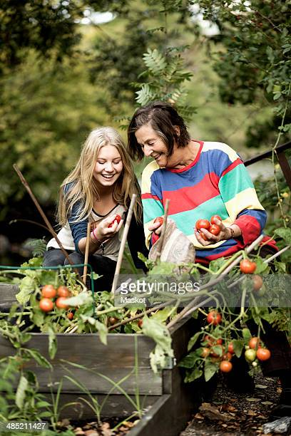 Grandmother and granddaughter harvesting tomatoes in garden