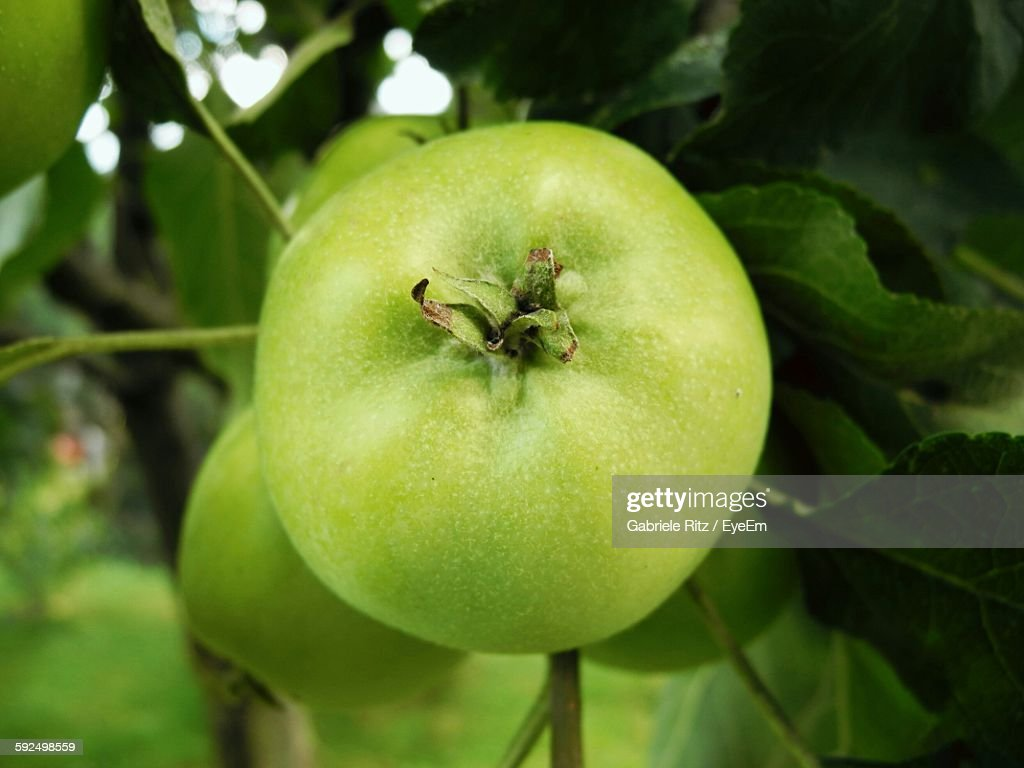 Granny Smith Apples Growing On Branch