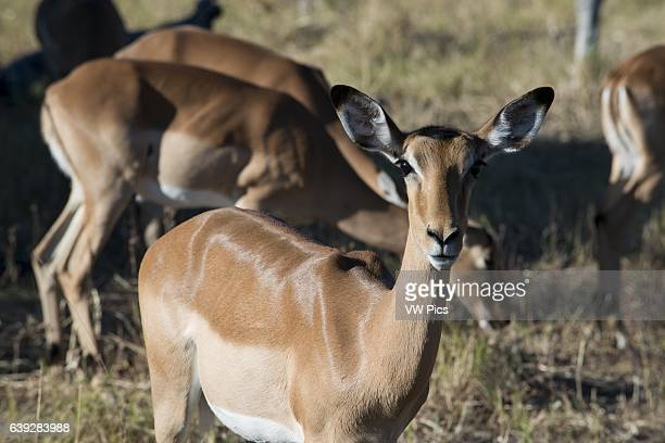 Grant gazelles graze and feed near Camp Khwai River Lodge by Orient Express in Botswana within the Moremi Game Reserve Wild Grant 's gazelle is a...