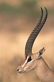 Grant's gazelle portrait
