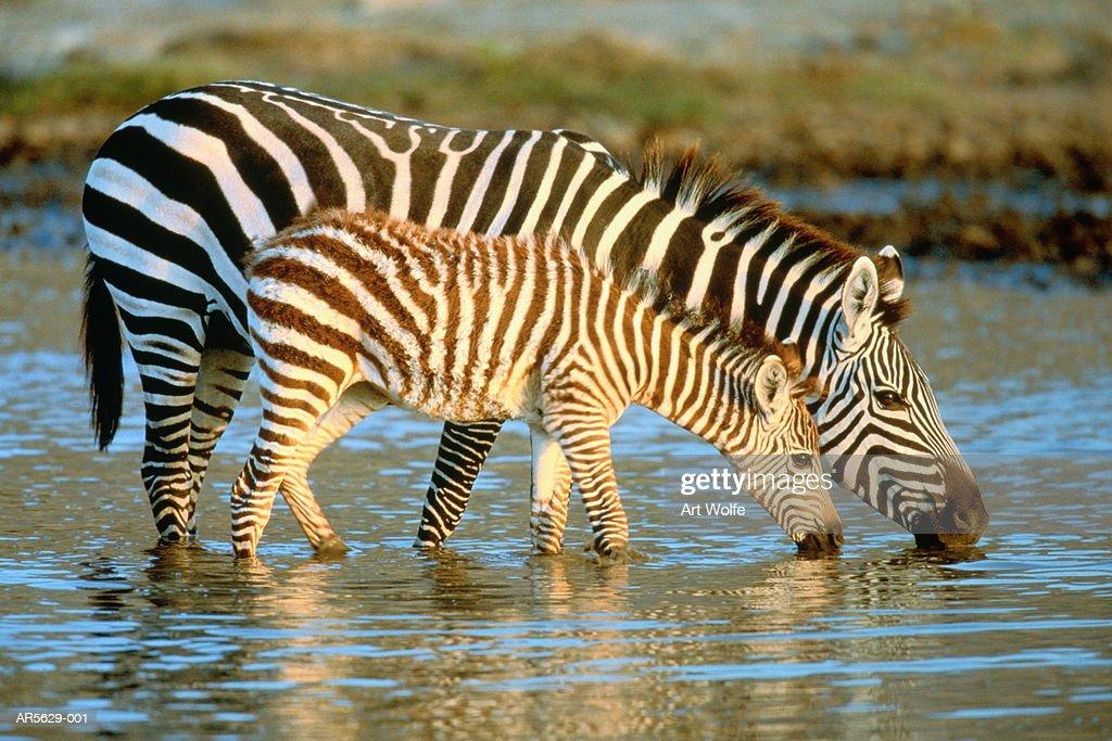 Grant's zebras (Equus burchelli boehmi) drinking  (Enhancement) : Stock Photo