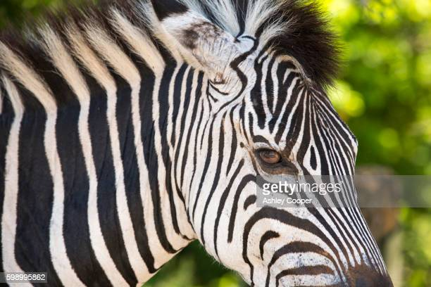 Grant's Zebras in Majete wildlife reserve in the Shire valley, Malawi, Africa.