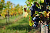 Grape Field - XLarge