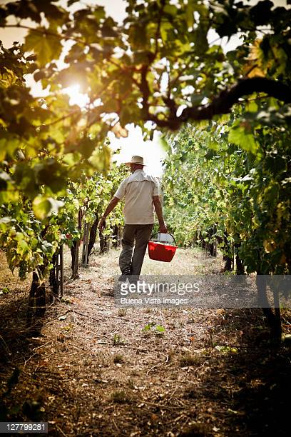 Grape harvest in the Chianti region