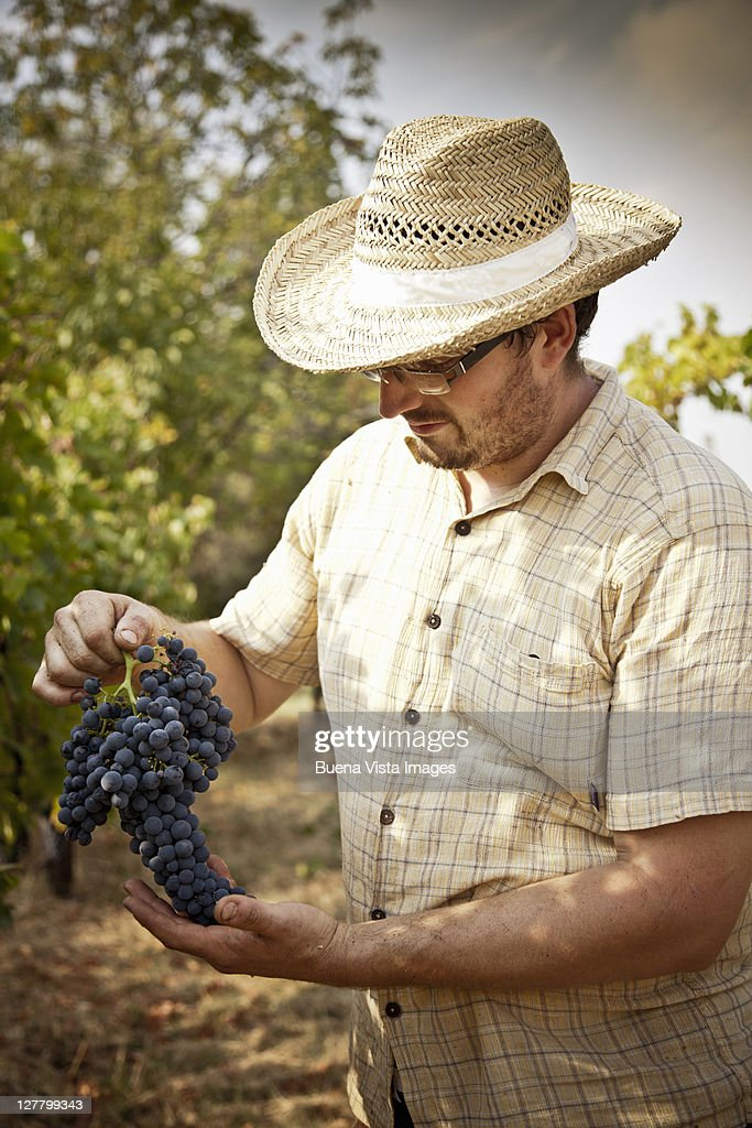 Grape harvest in the Chianti region : Stock Photo