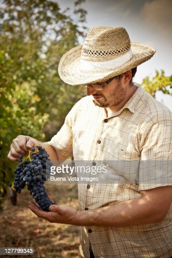Grape harvest in the Chianti region : Stock Photo