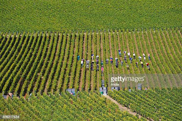 Grape harvest in the historic province of Champagne Winepickers working in a vineyard in the Marne department