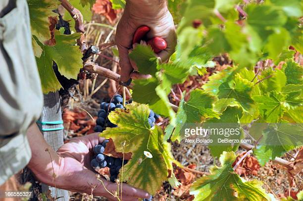 Grape Harvest - Vendimia