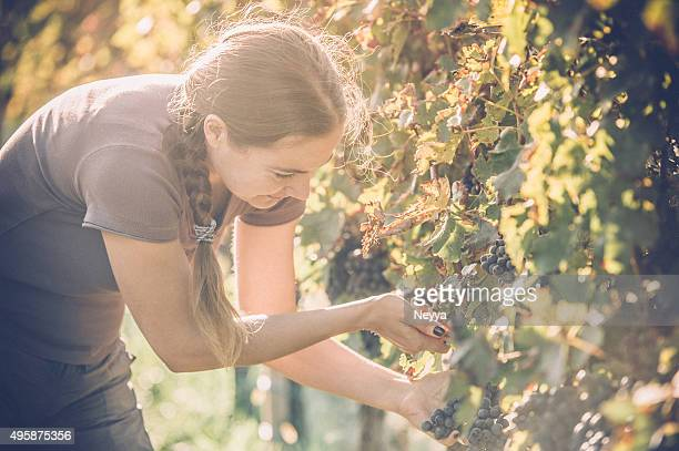 Grape Harvester