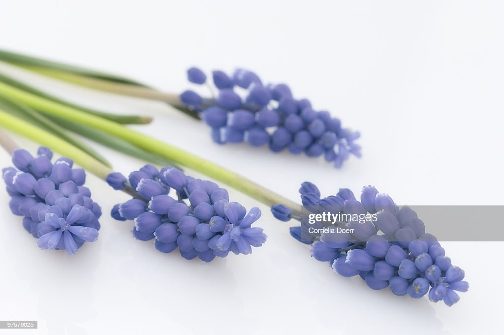 Grape hyacinth (Muscari latifolium) : Stock Photo