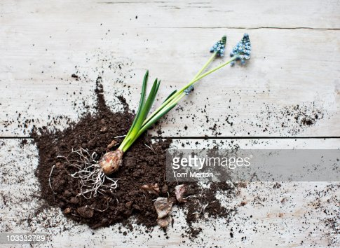 Grape hyacinth plant laying on dirt pile with roots exposed
