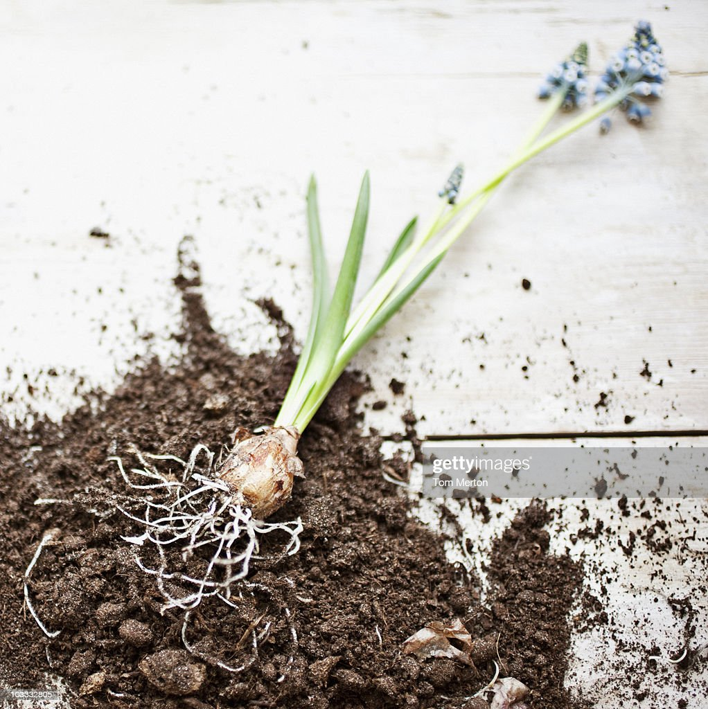 Grape hyacinth plant laying on dirt pile with roots exposed : Stock Photo