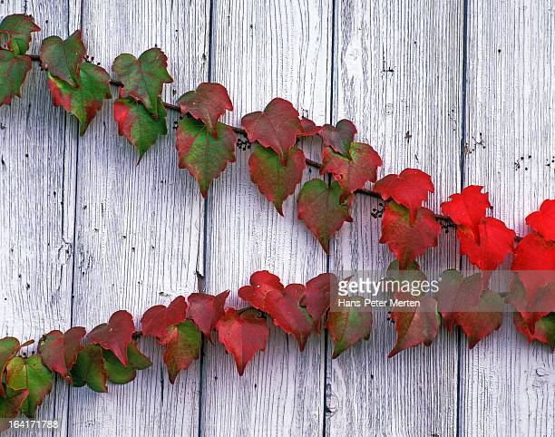 grape ivy on wooden wall