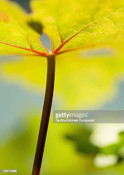 Grape leaf, low angle view, extreme close-up