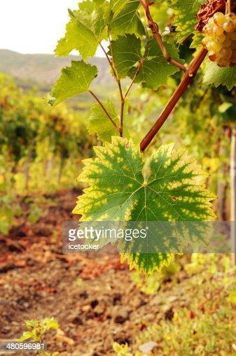 Grape leaf over green vineyards : Stock Photo