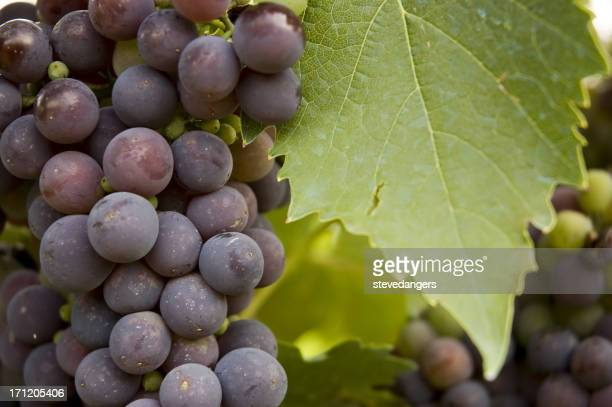 Grape & Leaf
