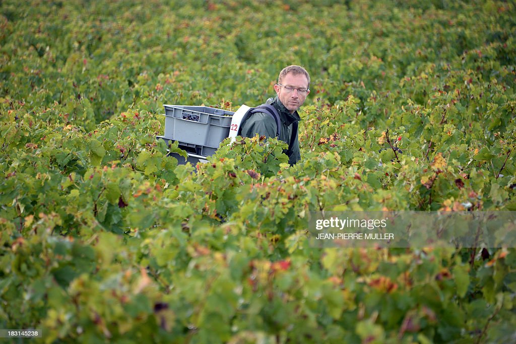 A grape picker, carrying a crate filled with grapes, walks in a 'Graves' grand cru parcel, on October 5, 2013, in Martillac (Bordeaux area). France is facing one of its poorest wine grape harvests in four decades, due to a cold and rainy spring and severe summer and autumn hail storms. 'Grand cru' is one of the highest classification for French wines.