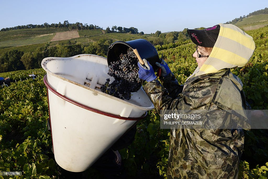 A grape picker empties a bucket of grapes during the first day of the Beaujolais' harvest on September 24, 2013 in the 'Moulin a Vent' vineyard, near Chenas, Beaujolais, eastern France. Harvest in Beaujolais region will run until October 20. AFP PHOTO/PHILIPPE DESMAZES