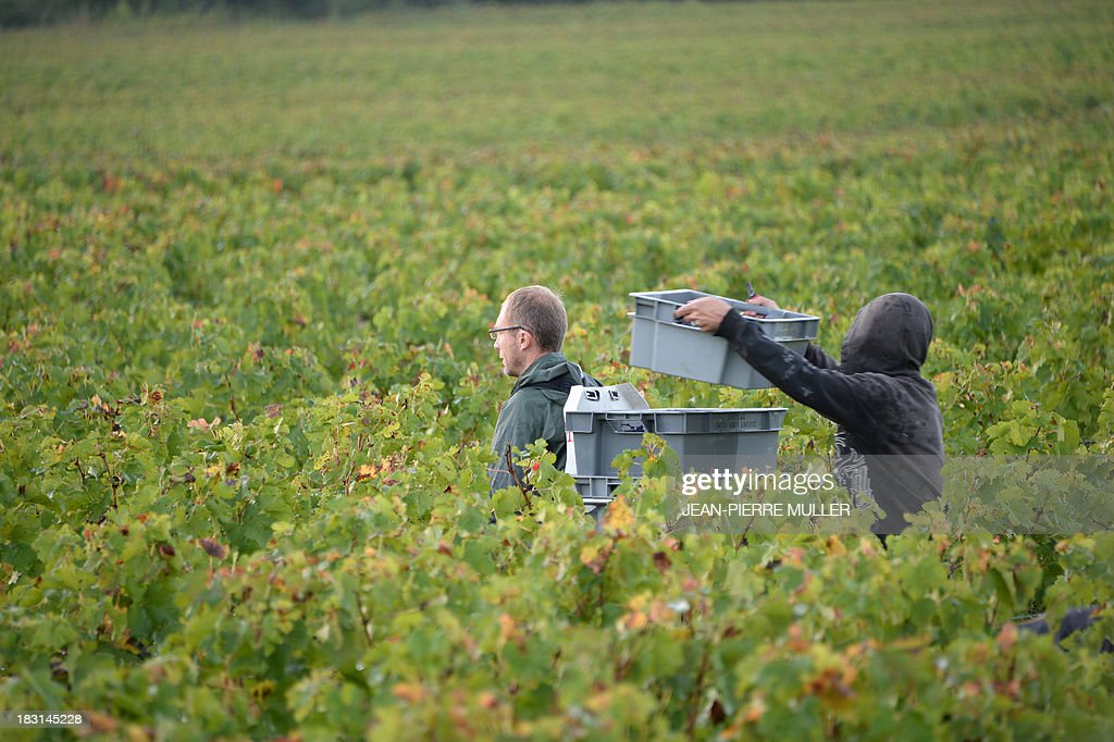 A grape picker fills a crate with grapes during the harvest in a 'Graves' grand cru parcel, on October 5, 2013, in Martillac (Bordeaux area). France is facing one of its poorest wine grape harvests in four decades, due to a cold and rainy spring and severe summer and autumn hail storms. 'Grand cru' is one of the highest classification for French wines.