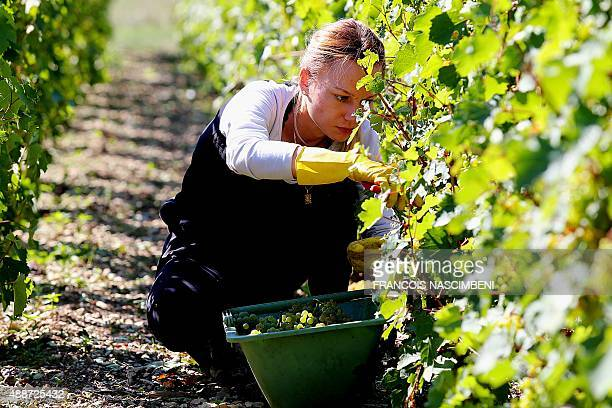 A grape picker harvests in vineyards of Michel Drappier winegrower and champagne productor in Urville eastern France on September 11 2015 Drappier...