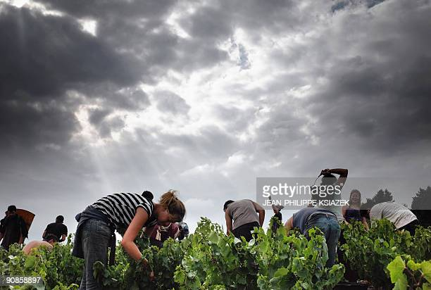 Grape pickers are pictured at work in a vineyard on Septemeber 12 2009 at the Grand Pre estate in the Beaujolais region eastern France This year's...