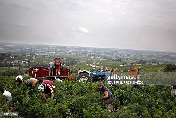 Grape pickers are pictured working in a vineyard on Septemeber 12 2009 at the Grand Pre estate in the Beaujolais region eastern France This year's...