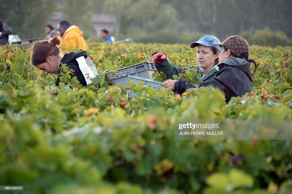 Grape pickers fill the crate of a colleague with grapes during the harvest in a 'Graves' grand cru parcel, on October 5, 2013, in Martillac (Bordeaux area). France is facing one of its poorest wine grape harvests in four decades, due to a cold and rainy spring and severe summer and autumn hail storms. 'Grand cru' is one of the highest classification for French wines.