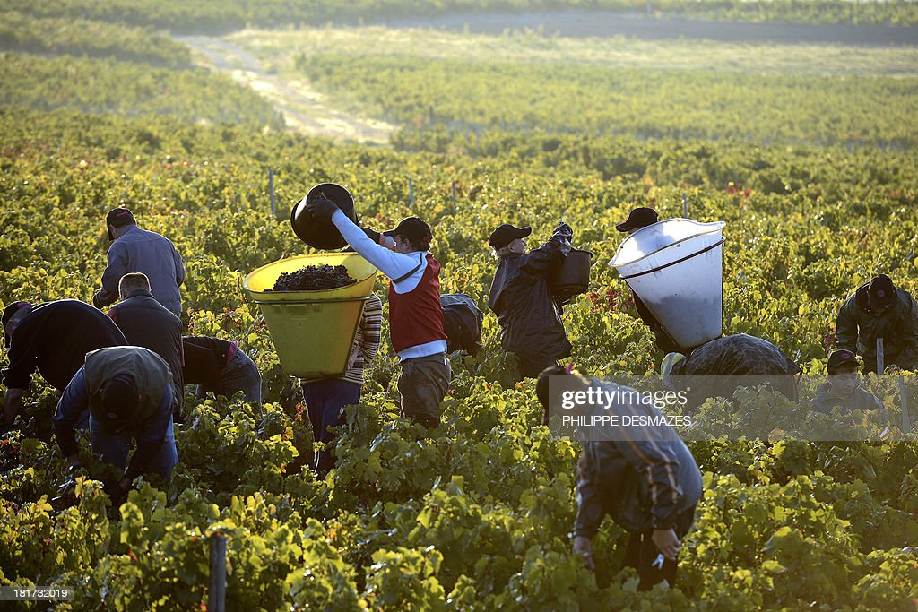 Grape pickers work on the first day of the Beaujolais' harvest on September 24, 2013 in the 'Moulin a Vent' vineyard, near Chenas, Beaujolais, eastern France. Harvest in Beaujolais region will run until October 20.