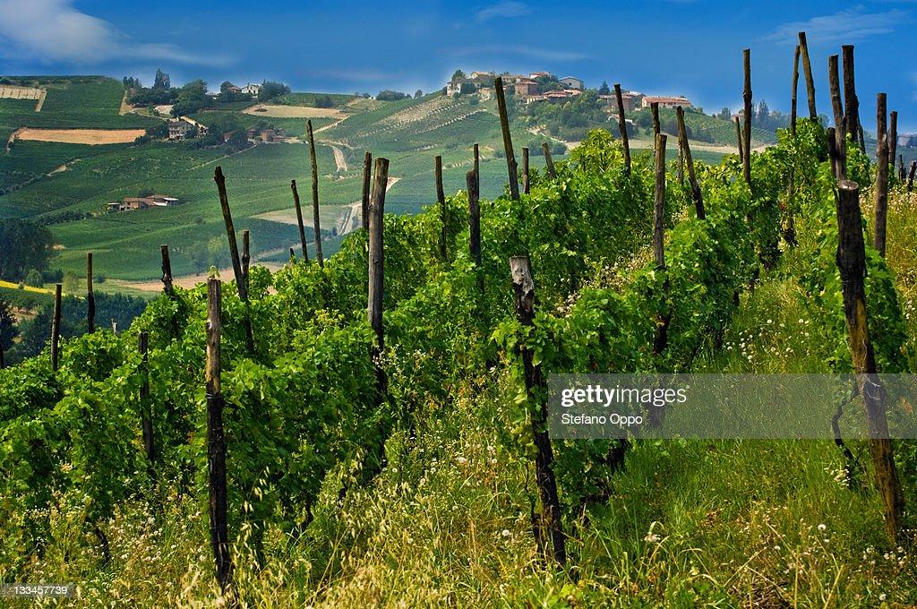 Grape trees in Piedmont, Italy : Stock Photo