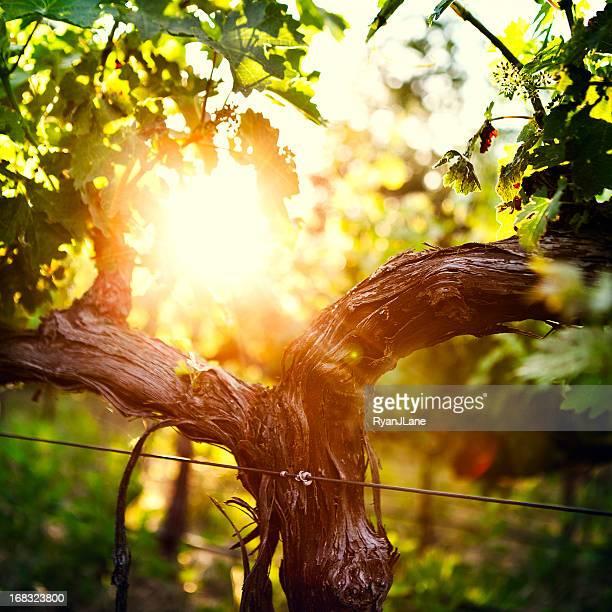 Calzoncini Uva vite e a primavera inoltrata