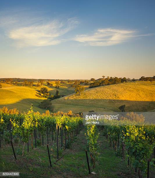 Grape vines and rolling hills in the Barossa Valley