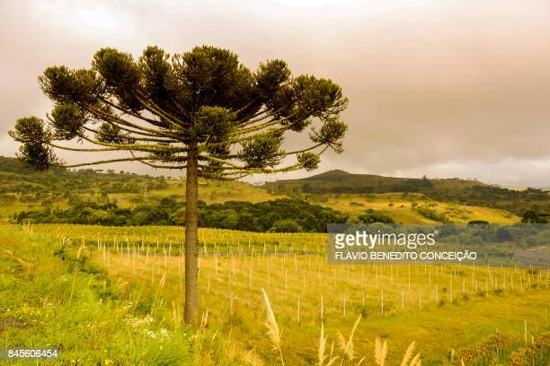 Grape vines in an agriculture and wine farm in the Santa Catarina mountain range