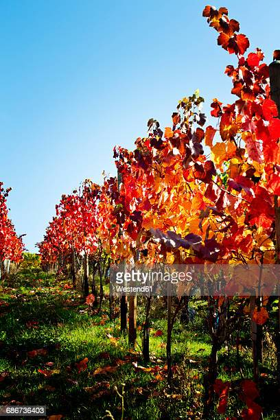 Grape vines in autumn