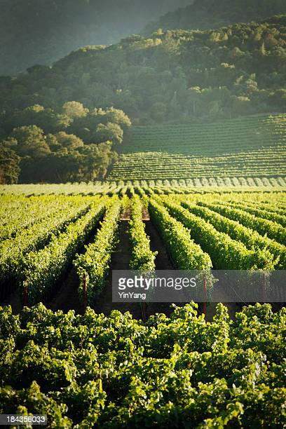 Grape Vines Vineyard Fields of Napa Valley Wine Country, California