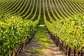 Taken 2015 in Toscany italy in an impressive Grape field.