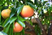 Ripe grapefruit fruits on the tree (Citrus paradisi)