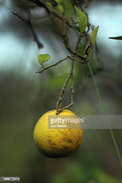 Grapefruits show signs of 'citrus greening' that is caused by the Asian citrus psyllid an insect that carries the bacterium causing disease 'citrus...