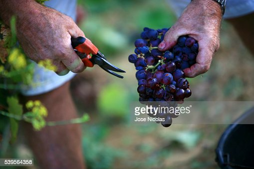 Grape-harvest in South of France
