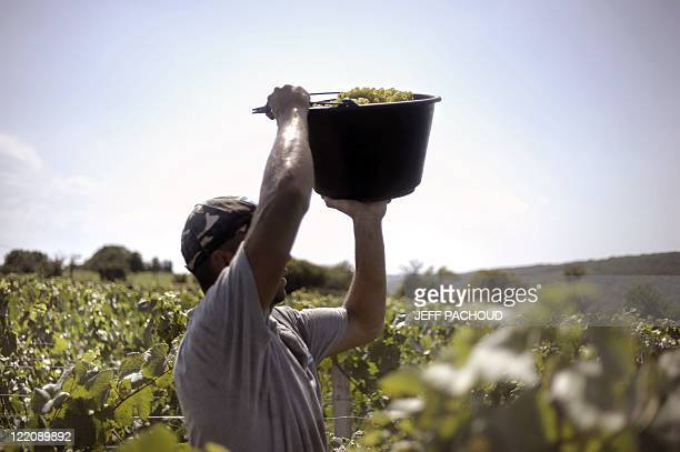 A grapepicker holds a bucket filled with grapes destined for the production of sparkling wine 'Crémant' among vineyards on August 23 2011 near Lugny...