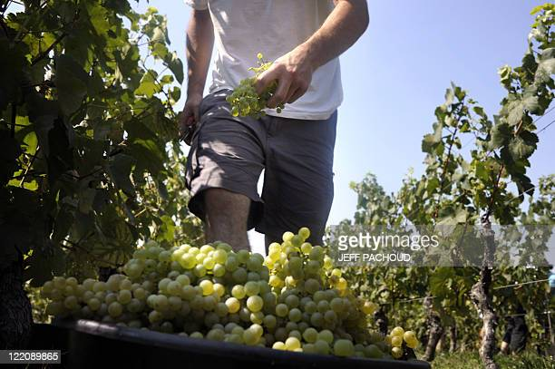 A grapepicker works among vineyards on August 23 picking grapes destined for the production of sparkling wine 'Crémant' near Lugny on the first day...