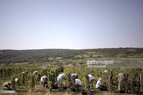 Grapepickers work among vineyards on August 23 picking grapes destined for the production of sparkling wine 'Crémant' near Lugny on the first day of...